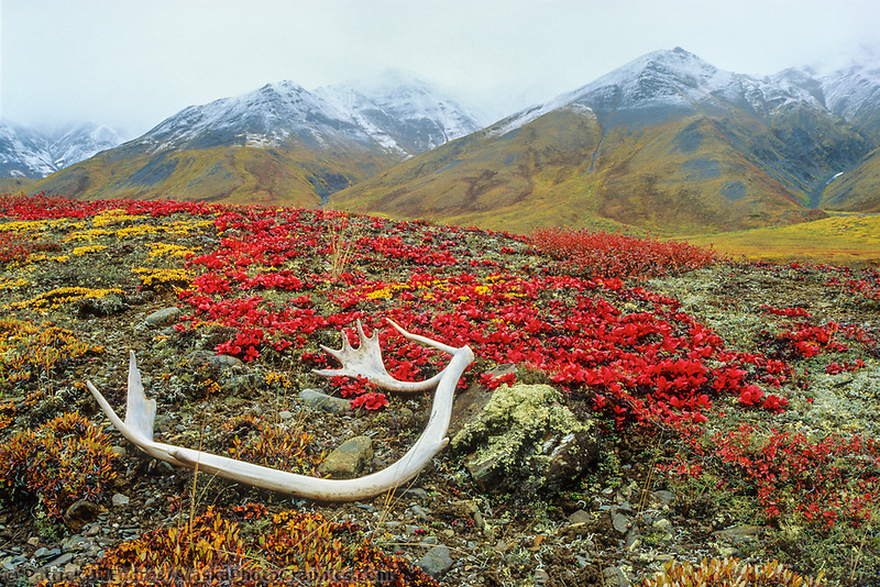 Caribou antlers lay on the tundra bearberry near the continental divide of the Brooks Range mountains, Alaska's Arctic.