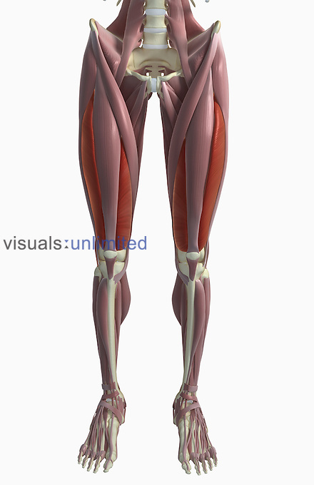 An anterior view of the muscles of the lower body. The vastus lateralis and medialis of the thighs are highlighted. Royalty Free
