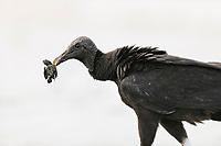 bird, black vulture, Coragyps atratus, feeding on olive ridley sea turtle hatchling, Lepidochelys olivacea, Playa Ostional, Costa Rica, Pacific Ocean