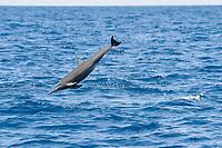 Juvenile Central American Spinner Dolphin, Stenella longirostris centroamericana, breaching, Costa Rica, Pacific Ocean