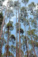 Floresta de Eucalipto,  gênero de arbustos ou árvores de grande porte, da família das mirtáceas da Jarí, usado  para plantio de extensas áreas de espécie para posterior produção de de papel e celulose  (grupo Orsa).<br />A fábrica em local próximo,  onde é beneficiada a madeira, foi construída em cima de uma balsa e trazida por empurradores do Japão no final da década de 70 e instalada as margens do rio Jarí, fronteira do Pará com o Amapá.<br />Almeirim, Pará, Brasil.<br />Foto Paulo Santos/Interfoto<br />03/2005.