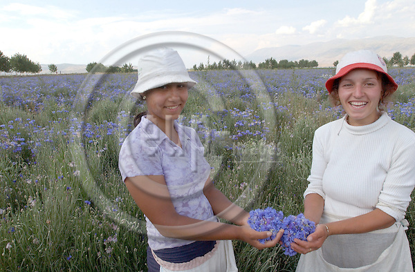 Ramiu-Korca/Korce-Albania - August 03, 2004---two female day labourers picking/presenting blossoms of centaurea (cyanus?); the blossoms are used (and sold) for medical treatment of e.g. eyes and prostata;  project area of GTZ-Wiram-Albania (German Technical Cooperation, Deutsche Gesellschaft fuer Technische Zusammenarbeit (GTZ) GmbH); agriculture-culture-portrait---Photo: Horst Wagner/eup-images