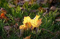 Backlit leaf on grass, Chipping, Lancashire.