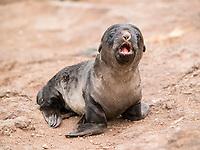Australian fur seal (Arctocephalus pusillus doriferus) pup calling for mother. Bass Strait, Australia