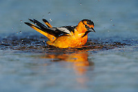 Bullock's Oriole (Icterus bullockii), male bathing, Laredo, Webb County, South Texas, USA