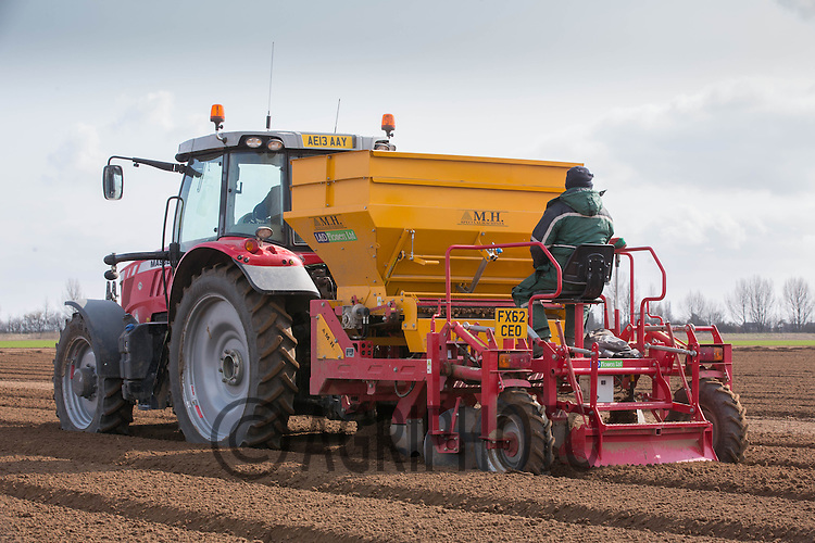 Planting Gladioli bulbs in the Lincolnshire Fens<br /> Picture Tim Scrivener 07850 303986