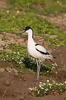 Avocet {Recurvirostra avosetta} at Elmley Marshes, Isle of Sheppey, Kent