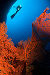 Gorgonian seafan and diver, Subergorgia sp., Layang Layang atoll, Sabah, Malaysia, South China Sea, Pacific Ocean