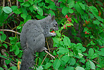 gray squirrel in plum tree
