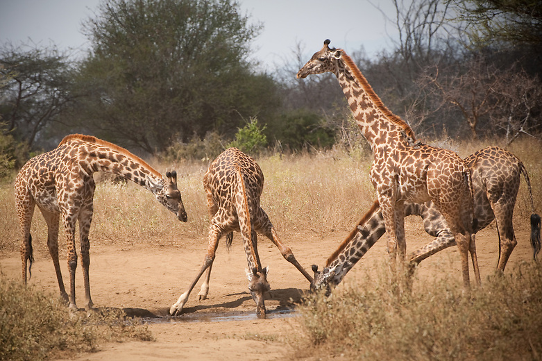 Giraffes have elastic blood vessels in their necks, this makes it possible for them to drink water from a pond, without fainting. A giraffe's heart has the formidable task of pumping blood at high enough pressure so that it can flow up the giraffe's neck to the brain. To accomplish this, a giraffe's heart is specially adapted; it generates twice the blood pressure of other large mammals. Having enough blood pressure to pump blood to the brain when the giraffe's neck is extended upward is one challenge, but when the animal lowers its head it risks injury due to excessive blood pressure. To counter this, giraffes are equipped with a pressure-regulating system known as the rete mirabile which restricts the amount of blood that rushes towards the brain when the giraffe lowers its head.