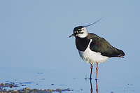 Northern Lapwing, Vanellus vanellus, male, National Park Lake Neusiedl, Burgenland, Austria, April 2007