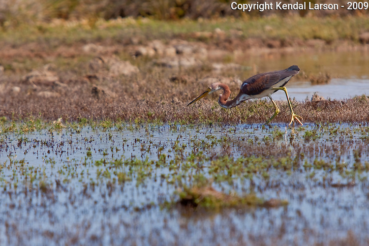 A tricolored heron prepares to strike at a shrimp or small fish.