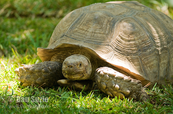 Spur-thigh tortoise, Geochelone solcata. Captive at Zoo Ave, a zoo near San Jose, Costa Rica