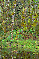 ORCAN_D255 - USA, Oregon, Cascade Range, Wildwood Recreation Site, Lush grove of red alder thrives in seasonally flooded area.
