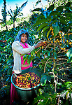 Indigenous Panamanian coffee picker dressed in traditional clothing, lives and works on a coffee farm in San Marcos de Tarrazu, Costa Rica. Her basket is full of ripe coffee cherries.