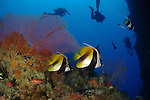 Siaes Tunnel, Palau -- Divers behind a large sea fan with masked bannerfish.