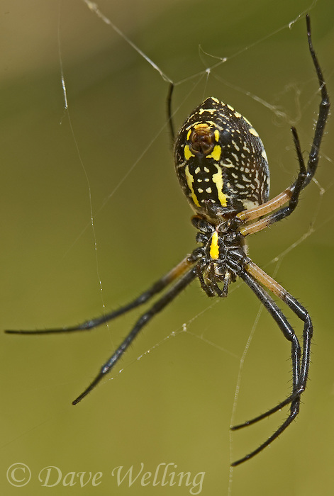 Black And Yellow Garden Spiders Argiope Aurantia Are Large Spiders Often Referred To As Garden