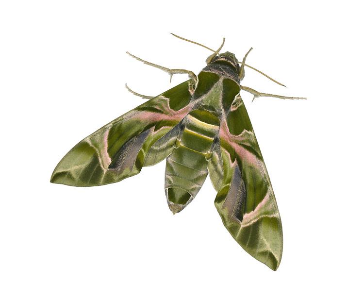 Oleander Hawk-moth - Daphnis nerii
