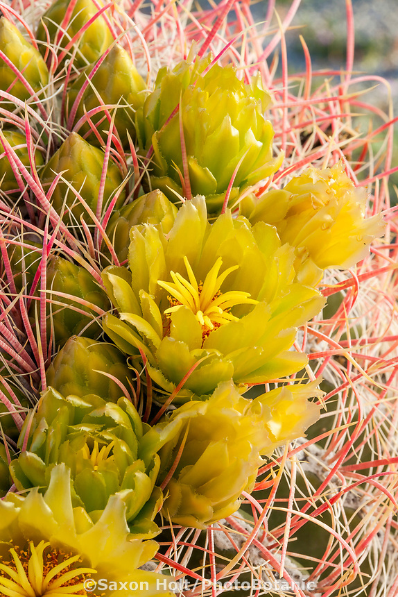 Ferocactus acanthodes, Barrel Cactus flowering in California native plant Anza Borrego State Park
