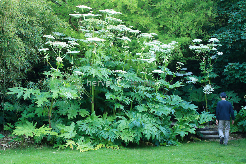 France, Normandy, Jardins du pays d'Auge: Heracleum mantegazzianum, commonly known as giant hogweed (Obligatory mention of the garden's name. Only use for press and books, other use require the prior agrees of the owner.)