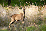 Red Deer, Cervus elaphus, Sierra de Andujar Natural Park, Sierra Morena, Andalucia, Spain