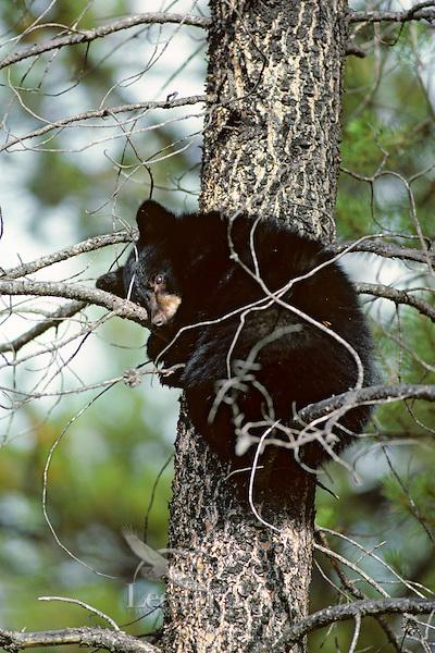 Black bear cub resting in tree.  Northern Rockies.  Fall.