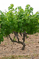 Vines. Savennieres, Anjou, Loire, France