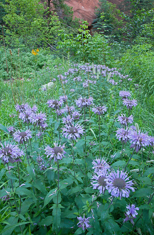Patch of wild bergamot (Monarda fistulosa var. menthaefolia) growing along the West Fork of Oak Creek