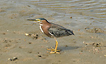 Green Heron.Butorides virescens at the Bolsa Chica Ecological Reserve Huntington Beach, Ca. April 24, 2009. Fitzroy Barrett