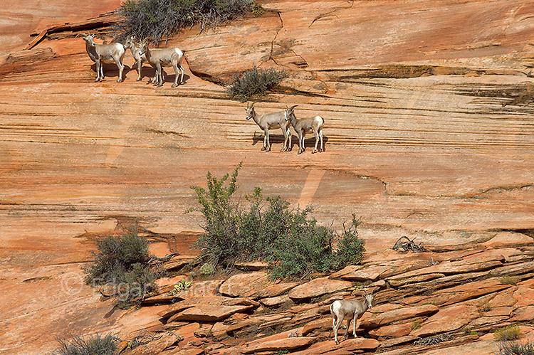 Bighorn Sheep, Zion National Park, Utah