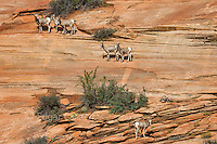 Bighorn Sheep, Zion National Park, Utah