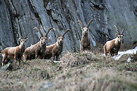 Five capra ibex standing close together