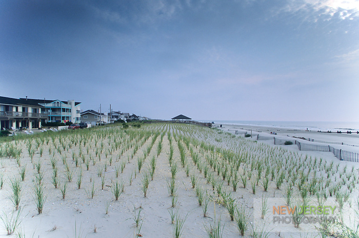 American beach grass planting, Long Branch, New Jersey