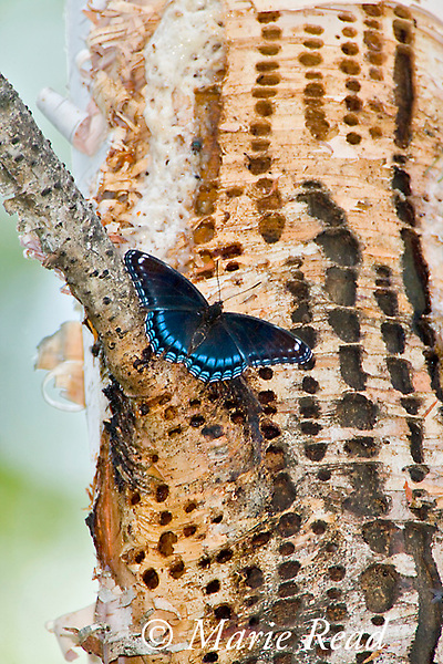 Red-spotted Purple butterfly (Limenitis arthemis astyanax) (Fam: Nymphalidae) attracted to feed at sap drillings of Yellow-bellied Sapsucker, Millersburg Michigan, USA