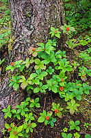 Dwarf dogwood grows at the base of a tree in the rainforest in Sitka, alaska