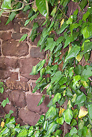 Hedera colchica Sulphur Heart climbing a wall