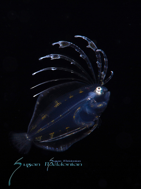 Flounder larval, Black Water Dive onboard Sirena, Gulfstream Current over 600' depth