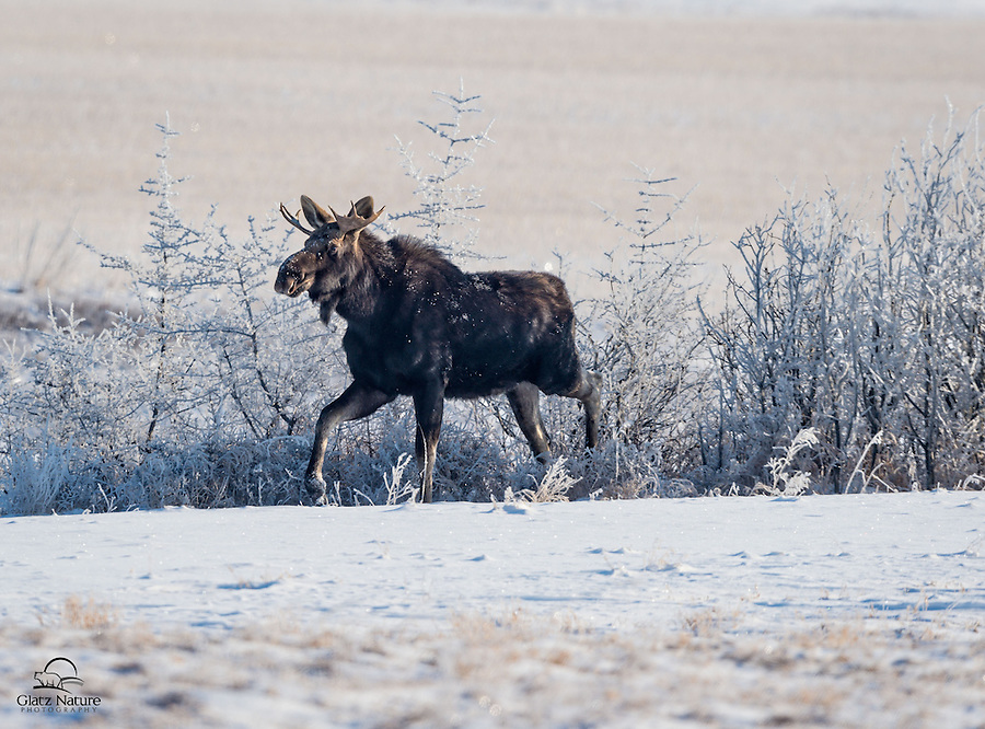 We didn't expect to see Moose in the rural fields outside Calgary, Alberta, Canada - but this young male Moose (Alces alces) seemed right at home.