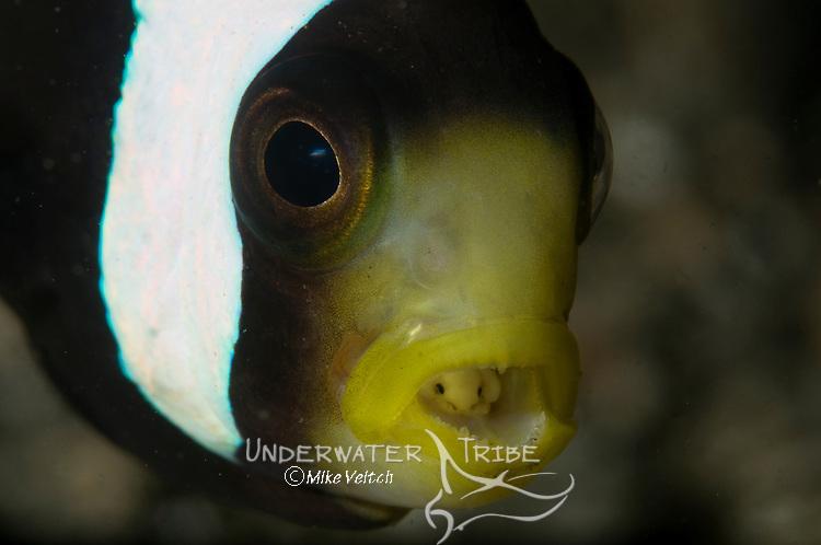 Saddleback anemonefish, Amphiprion polymnus, and tongue biter isopod parasite, Cymothoa exigua, Lembeh Strait, Bitung, Manado, North Sulawesi, Indonesia, Pacific Ocean