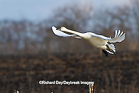 00759-00319 Tundra Swan (Cygnus columbianus) in flight at Prairie Ridge State Natural Area, Marion Co., IL