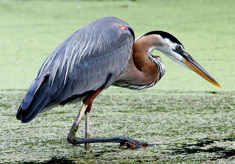 Great blue heron adult wading in Paradise Pond, Port Aransas, TX