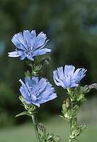 CHICORY Cichorium intybus (Asteraceae)  Height to 1m<br /> Branched perennial with stiff, grooved stems. Grows in bare, grassy places and typically on calcareous soils; often seen on roadside verges. FLOWERS are borne in heads, 3-4cm across, with sky blue florets; open only in the morning and in sunny weather (Jun-Sep). FRUITS are achenes. LEAVES are stalked and lobed at base of plant; upper ones narrow and clasping. STATUS-Locally common only in S England.