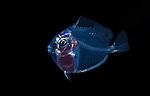 Blue Tang Surgeonfish larva, Acanthurus coeruleus