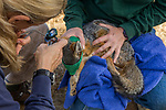 Santa Catalina Island Fox (Urocyon littoralis catalinae) biologists, Julie King and Rebekah Rudy, removing grass seed from fox's ear during vaccination and health check up, Santa Catalina Island, Channel Islands, California