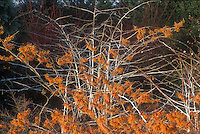 Hamamelis x intermedia Jelena aka Copper Beauty in orange red flower in winter with interest of white stems of Rubus biflorus GR3461 - Witch hazel and Silver-stemmed Bramble in winter