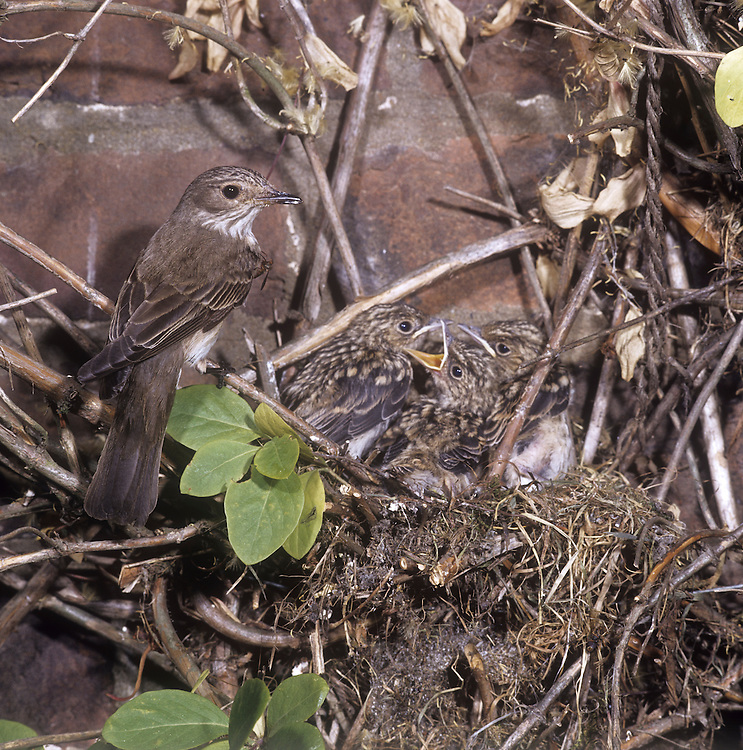 Spotted Flycatcher Muscicapa striata - at nest with young. L 14cm. Charming, perky bird with unremarkable plumage. Recognised by upright posture and habit of making insect-catching aerial sorties from regular perches. Sexes are similar. Adult has grey-brown upperparts, streaked on crown, and pale greyish white underparts heavily streaked on breast. Juvenile is similar but has pale spots on back and dark spots on throat and breast. Voice Utters a thin tsee call. Song is simple and includes thin, call-like notes. Status Widespread summer visitor to open, sunny woodland, parks and gardens; often nests around habitation.