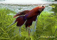 BY03-076z  Siamese Fighting Fish - male making protective bubble nest for eggs - Betta splendens