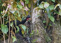 We saw a number of guans hanging out together at La Selva Biological Station.