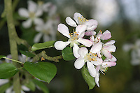 Wild Crab Malus sylvestris Rosaceae Height to 10m <br /> Slender deciduous tree. Bark Deep brown, cracking into oblong plates. Branches Often spiny; even shoots can be thorny. Leaves To 11cm long, oval and toothed. Reproductive parts Flowers 5-petalled, to 4cm across, white, sometimes pink-tinged. Fruits to 4cm across, rounded, yellowish-green, hard and sour. Status Locally common native of hedges and woods.