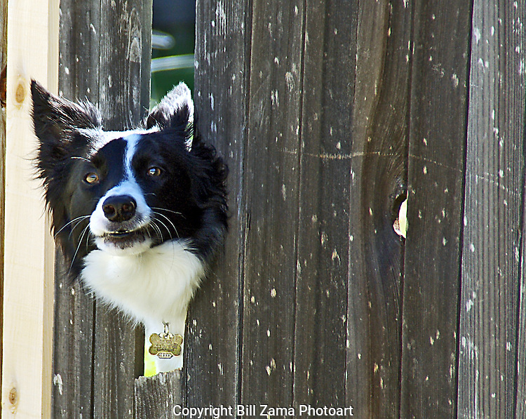 Border Collie peeking through broken fence
